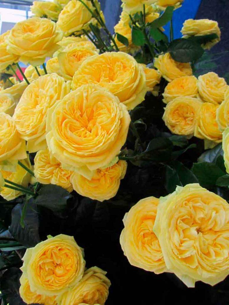 flor acatalina lasa